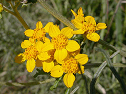 Golden Yarrow-200